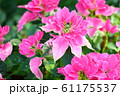 ポインセチアの花 61175537