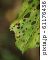 綺麗な模様に食べられた葉 61176436
