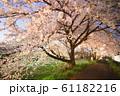 夜桜 花見 61182216