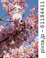 桜と東京スカツリー 61184411