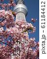 桜と東京スカイツリー 61184412