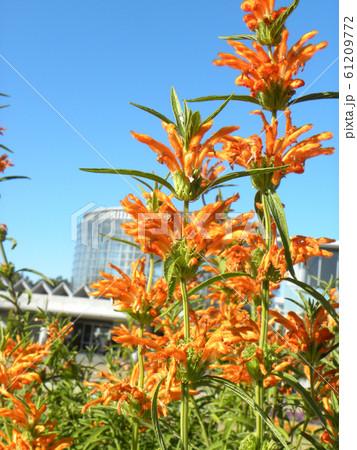 花びらに毛が生え、綿を着せたよな カエンキセワタのオレンジ色の花 61209772