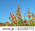 花びらに毛が生え、綿を着せたよな カエンキセワタのオレンジ色の花 61209773