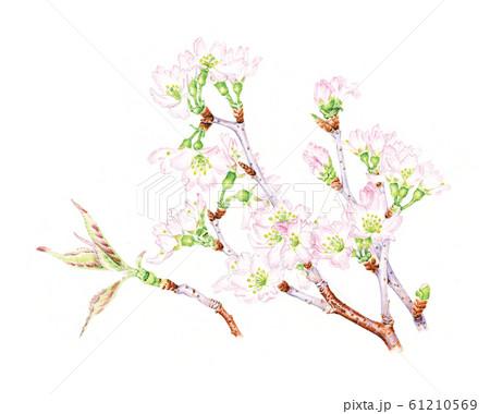 桜 61210569