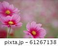 コスモス 61267138