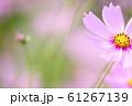 コスモス 61267139