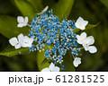 紫陽花のアップ 61281525