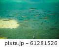 池の魚の群れ 61281526