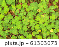 Green Oxalis oregana texture, background (Oxalis 61303073