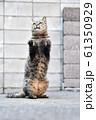 近所の野良猫 61350929