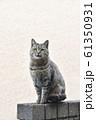 近所の野良猫 61350931