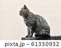 近所の野良猫 61350932