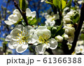 Blooming pear tree branch. White flowers spring blossom 61366388