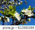 Blooming pear tree branch. White flowers spring blossom 61366389