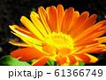 Calendula officinalis flower closeup 61366749
