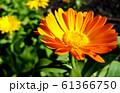 Calendula officinalis flower closeup 61366750