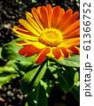 Calendula officinalis flower closeup 61366752