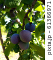 Plum branch with berries 61366971
