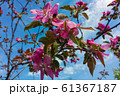 Blooming apple tree. Pink flowers on a branches. Spring blossom 61367187