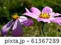 Pink cosmos flowers closeup 61367289