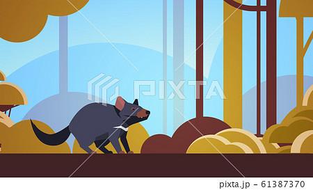 tasmanian devil walking in forest australian wild animal wildlife fauna concept landscape background horizontal 61387370