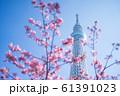 東京スカイツリーと河津桜 青空 横構図 61391023