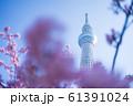 東京スカイツリーと河津桜 青空 横構図 61391024