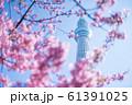 東京スカイツリーと河津桜 青空 横構図 61391025