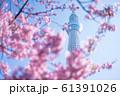 東京スカイツリーと河津桜 青空 横構図 61391026