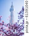 東京スカイツリーと河津桜 青空 縦構図 61391040