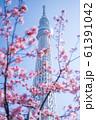 東京スカイツリーと河津桜 青空 縦構図 61391042