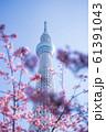 東京スカイツリーと河津桜 青空 縦構図 61391043