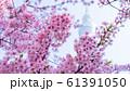 河津桜と東京スカイツリー 青空 背景ぼけ 61391050