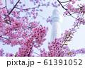 河津桜と東京スカイツリー 青空 背景ぼけ 61391052