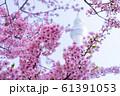 河津桜と東京スカイツリー 青空 背景ぼけ 61391053