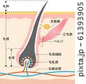 毛根 肌の断面図 61393905