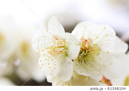 白梅のマクロ写真 花弁を観察 梅の花 61398104
