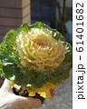 葉牡丹の苗 白 61401682