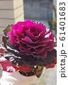 葉牡丹の苗 赤紫 61401683