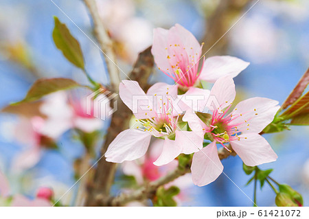 淡いピンクが可憐な十月桜 61421072