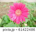ピンクのガーベラ 61422486