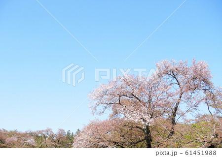 春爛漫 華やぐ春 春の詩 桜の花 61451988