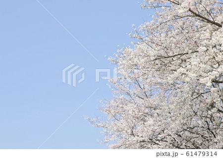 桜 61479314