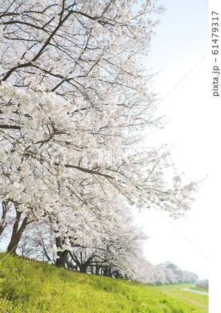 桜 61479317
