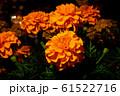 鮮やかなオレンジ色のマリーゴールド 61522716