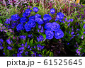 青いバラ 61525645