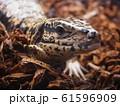 大型爬虫類ゴールデンテグー 61596909