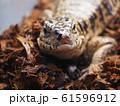 大型爬虫類ゴールデンテグー 61596912