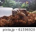 大型爬虫類ゴールデンテグー 61596920