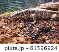 大型爬虫類ゴールデンテグー 61596924
